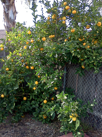 Wordpress weekly photo challenge: distorted lemon tree