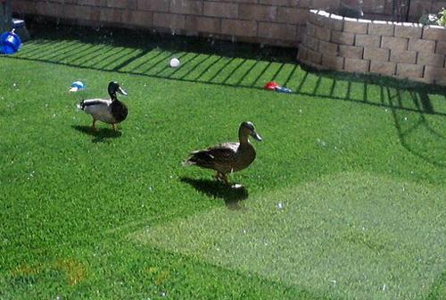 Ducks walking in our backyard