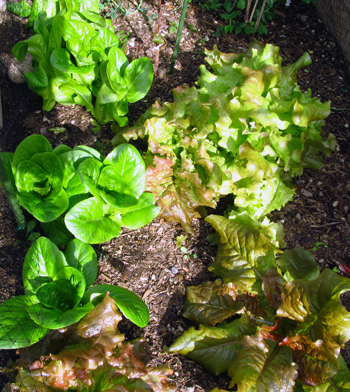 Red leaf and green leaf lettuce in my garden