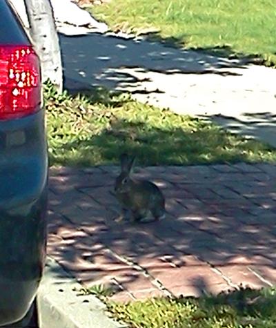White tail jack rabbit in San Diego
