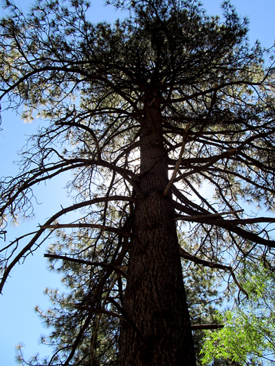 Wordpress weekly photo challenge: Sun behind a pine tree in Idyllwild