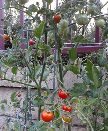 Wordpress weekly photo challenge: summer cherry tomatoes