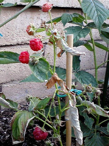 Wordpress weekly photo challenge: summer raspberries