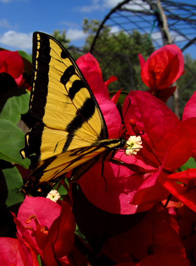 Tiger swallowtail butterfly on bougainvillea