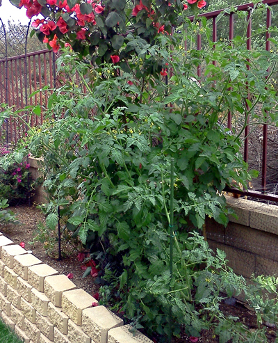 Tomato plants for the WordPress weekly photo challenge: Today