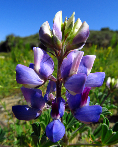 Photo of purple lupine in San Diego