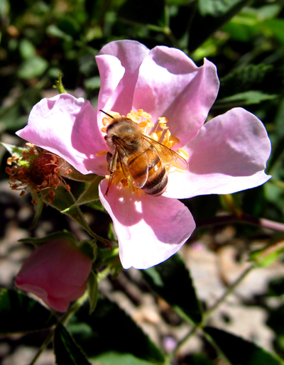 Wordpress weekly photo challenge: fleeting moment - bee in a wild rose