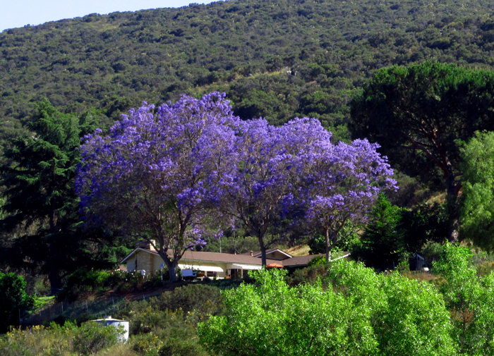 Wordpress weekly photo challenge: Purple - Jacaranda tree in San Diego