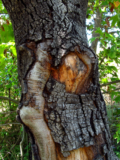 Wordpress weekly photo challenge: Wrong - the hidden face in the tree