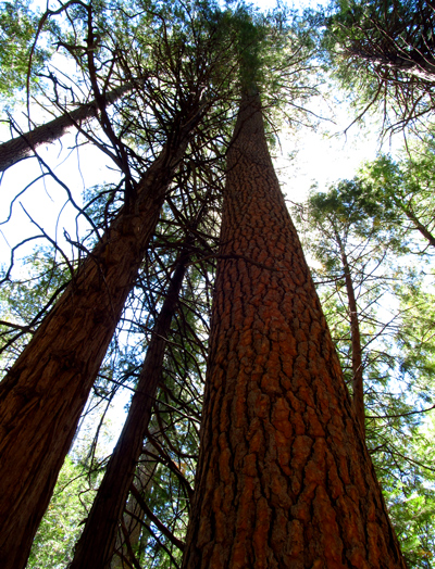 Wordpress weekly photo challenge: Near and far - Pine trees in Idyllwild California