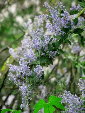 Ramona lilac blossoms