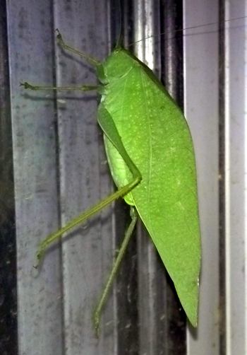 Wordpress weekly photo challenge: solitary - katydid