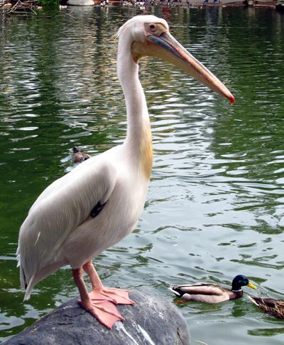 Wordpress photo challenge: big pelican at the San Diego Safari Park