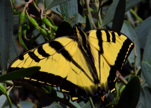 WordPress weekly photo challenge: Geometry - triangle of a tiger swallowtail butterfly