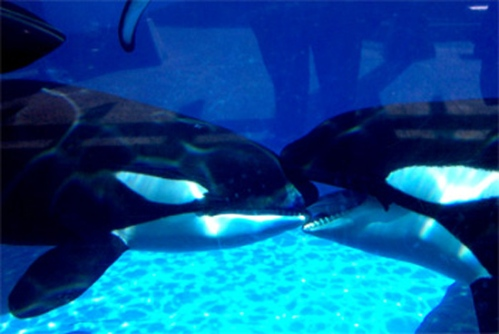 WordPress weekly photo challenge: Kiss - killer whales kissing at SeaWorld