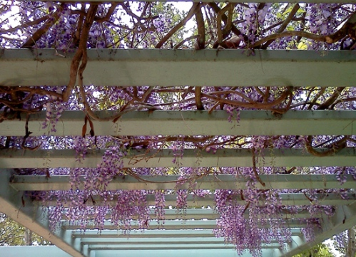 Wordpress weekly photo challenge: A day in my life - wisteria blooms