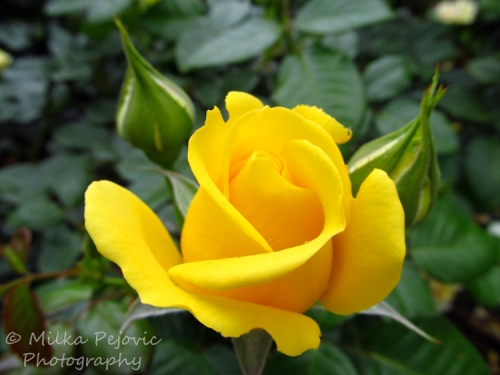 Yellow rose in San Diego's Balboa Park