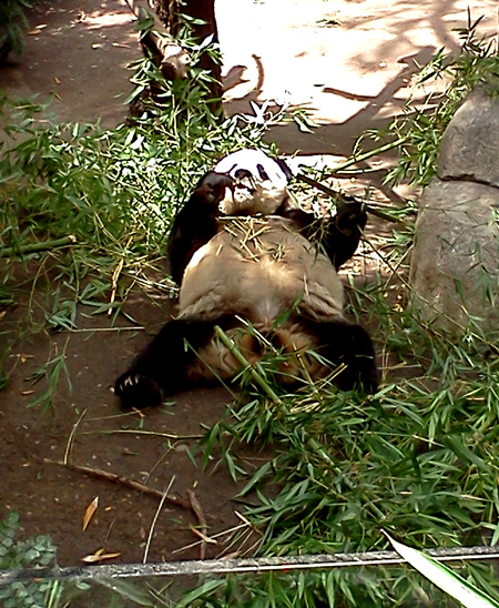 Panda eating bamboo at the San Diego zoo