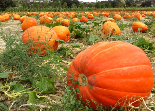 Field of giant pumpkins