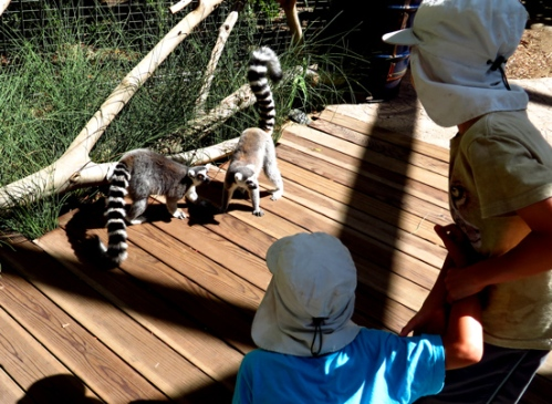 Lemur walk at the San Diego Zoo Safari Park