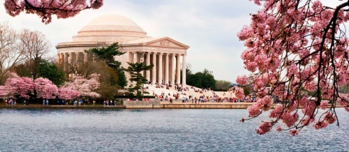 Cherry blossoms in Washington DC - courtesy of Jet Blue