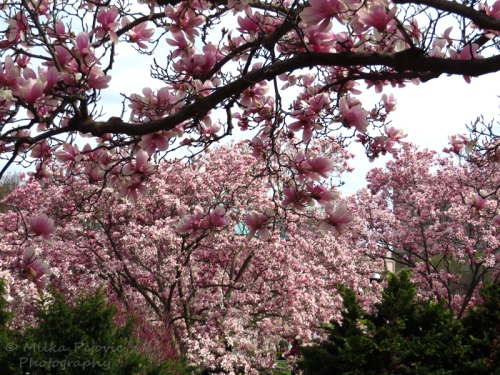 Pink magnolia blooms - tulip tree blossoms in Washington DC