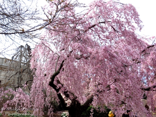 Pink cherry willow blossoms in Washington DC
