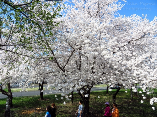 White cherry blossoms in Washington DC